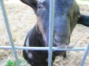 Spizzerinctum the Goat