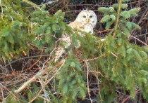 ChiroPicker Owl 2