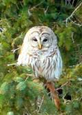ChiroPicker Owl